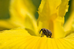 Weevil. Plague yellow nature insect flower Stock Photos