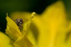 Weevil. Plague yellow nature insect flower Stock Image