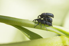 Weevil sex Royalty Free Stock Photography
