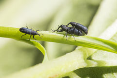 Weevil sex Royalty Free Stock Photo