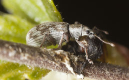 Weevil sitting on birch stem Royalty Free Stock Photos