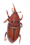 Weevil snout beetle. Insect weevil snout beetle isolated on white royalty free stock photo