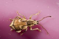 Weevil visto da parte superior Fotos de Stock Royalty Free