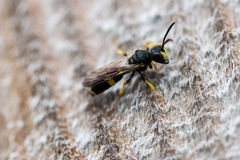 Weevil wasp Stock Photo