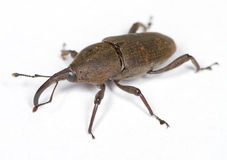 Weevil On White Surface. Weevil beetle on white surface Royalty Free Stock Photography