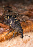 Weevil on wooden log Royalty Free Stock Images