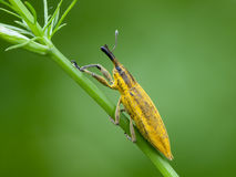Weevil Stock Photos