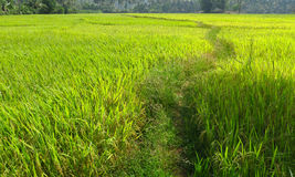 Weg auf einem reifen Reisgebiet Stockbilder