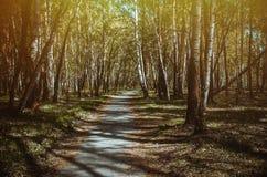 Weg in berkbos in de lente Stock Fotografie