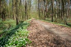 Weg in de bos en bloeiende witte bloemen stock afbeeldingen