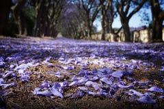 Weg in de voorsteden met lijn van jacarandabomen en kleine bloemen Royalty-vrije Stock Foto's