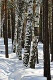 Weg in de winterbos onder de boomstammen van bomen, en gepleisterd met sneeuw dooi Royalty-vrije Stock Foto's
