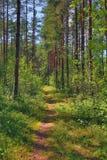 Weg in de zomerbos met pijnbomen Royalty-vrije Stock Foto