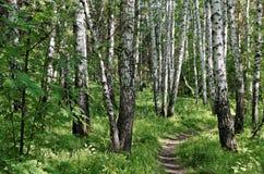 Weg in der Birkenwaldung Stockfotografie