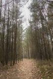 Weg, der durch den Kiefernwald gibt allein und dunkle Gefühllandschaft führt Lizenzfreies Stockbild