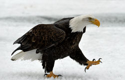 Weg des Weißkopfseeadlers (Haliaeetus leucocephalus) auf Schnee Stockfotografie