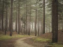 Weg die rond hoek door pijnboom bossprookje leiden als stock afbeeldingen