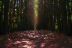 Weg in donker bos Stock Afbeelding