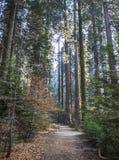 Weg door Dalingsbos met Bomen in Californië Sierra Nevada stock foto