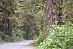Weg door de Californische sequoia's Stock Afbeeldingen