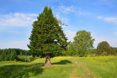 Weg door een Weide en een mooie spar Stock Afbeelding