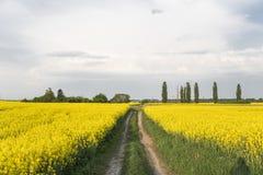 Weg door eindeloos raapzaadgebied Het Gebied van de verkrachting Gele raapzaadgebieden en bewolkte blauwe hemel met wolken in syn stock afbeelding