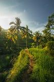 Weg door Indonesische Padievelden Royalty-vrije Stock Afbeeldingen