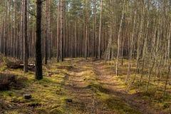 Weg door pijnboom en berkbos Stock Afbeelding