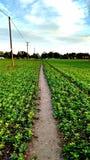 Weg door vruchtbare cropland Stock Afbeeldingen