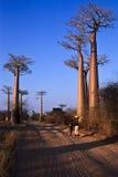 Weg du baobab Stock Foto