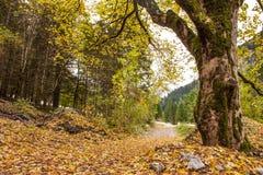 Weg durch österreichisches alpines Valey bedeckt durch Blätter im Herbst Stockfoto