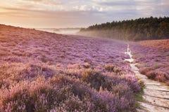 Weg durch blühende Heide bei Sonnenaufgang in den Niederlanden lizenzfreie stockfotos