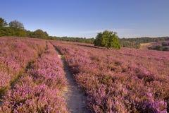 Weg durch blühende Heide in den Niederlanden lizenzfreie stockbilder
