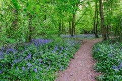 Weg durch die Glockenblumen im Wald Stockfotos