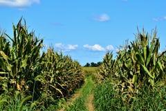Weg durch ein Mais-Feld lizenzfreie stockbilder