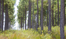Weg durch einen Kiefernwald Stockfotos
