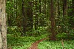 Weg durch einen Rotholz-Wald Lizenzfreie Stockbilder