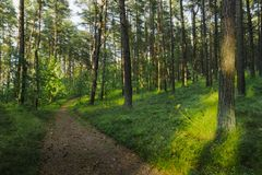 Weg durch immergrünen Koniferenkiefernwald lizenzfreie stockbilder