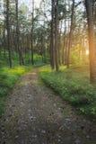 Weg durch immergrünen Koniferenkiefernwald bei Sonnenaufgang stockbilder