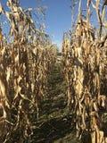 Weg durch Mais lizenzfreie stockbilder