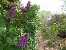 Weg durch unseren Garten nahe Fliederbüschen lizenzfreie stockfotografie
