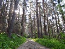 Weg in einem schattigen Kiefernwald Lizenzfreies Stockfoto