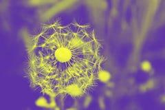 Weg geel en de purpere vlieg van paardebloemzaden stock afbeeldingen