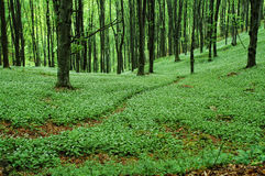 Weg in groen bos Royalty-vrije Stock Afbeeldingen