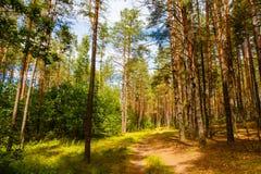 Weg in groen pijnboom bos Boslandschap stock foto's
