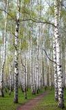 Weg in het avond berkbos met eerste de lentegreens Stock Afbeeldingen