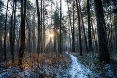 Weg in het bos van de de winterpijnboom Stock Fotografie