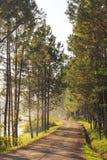 Weg in het bos van Pijnboombomen Stock Fotografie