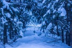 Weg im Nachtkoniferenwald ist- furchtsam und aufregend Stockbilder