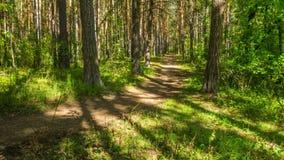 Weg im Wald zwischen Bäumen stock video
